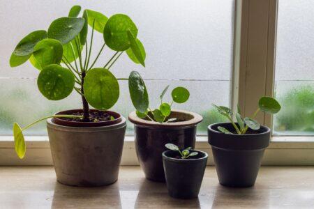Waarom is de pannenkoekenplant zo populair?