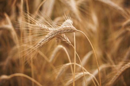 Tarwe, spelt en gerst, allemaal graansoorten, maar wat is het verschil?