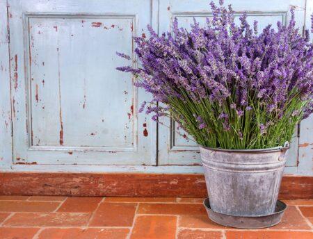 Lavendel; hoe verzorg je het en kan je het ook zelf kweken?
